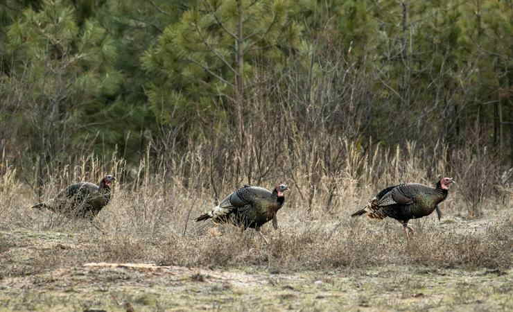 Archery Tips for Hunting Turkeys